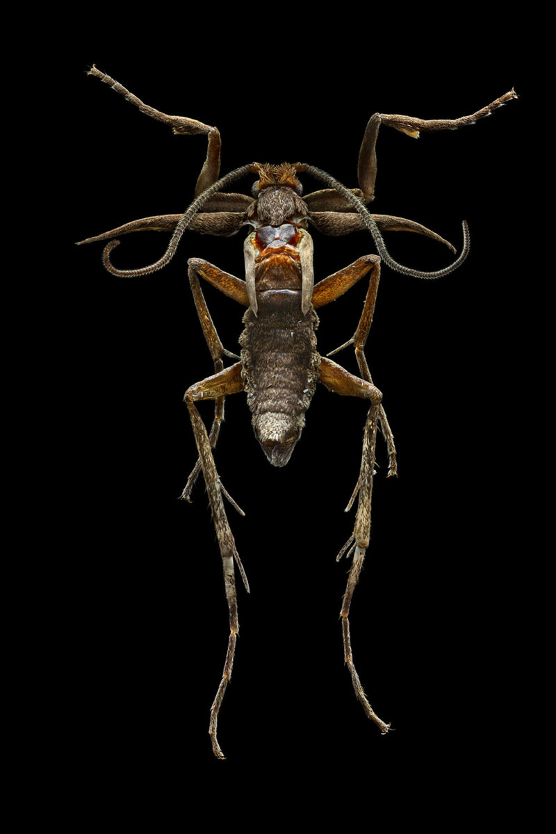 The Marion Island Flightless Moth Finally Takes Flight. - CRXSS